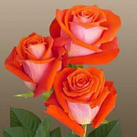 Саженцы роз сорт Верано (Verano)