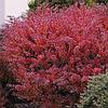 Барбарис Тунберга Дартс Ред Леди / Dart's Red Lady (контейнер 3 л, высота растения 20-30см)