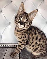 Мальчик 20.05.18. Котёнок Саванна Ф1 (Ашера) питомник Royal Cats, фото 1