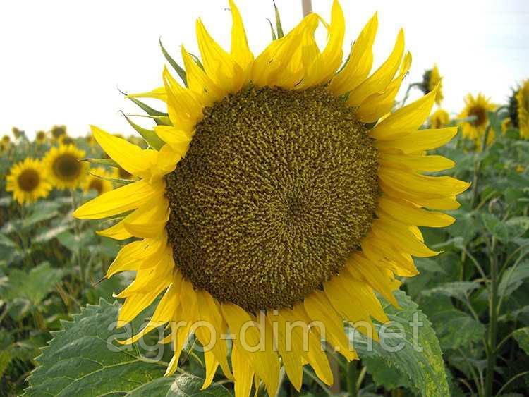 Насіння соняшника Златибор (A-G+)