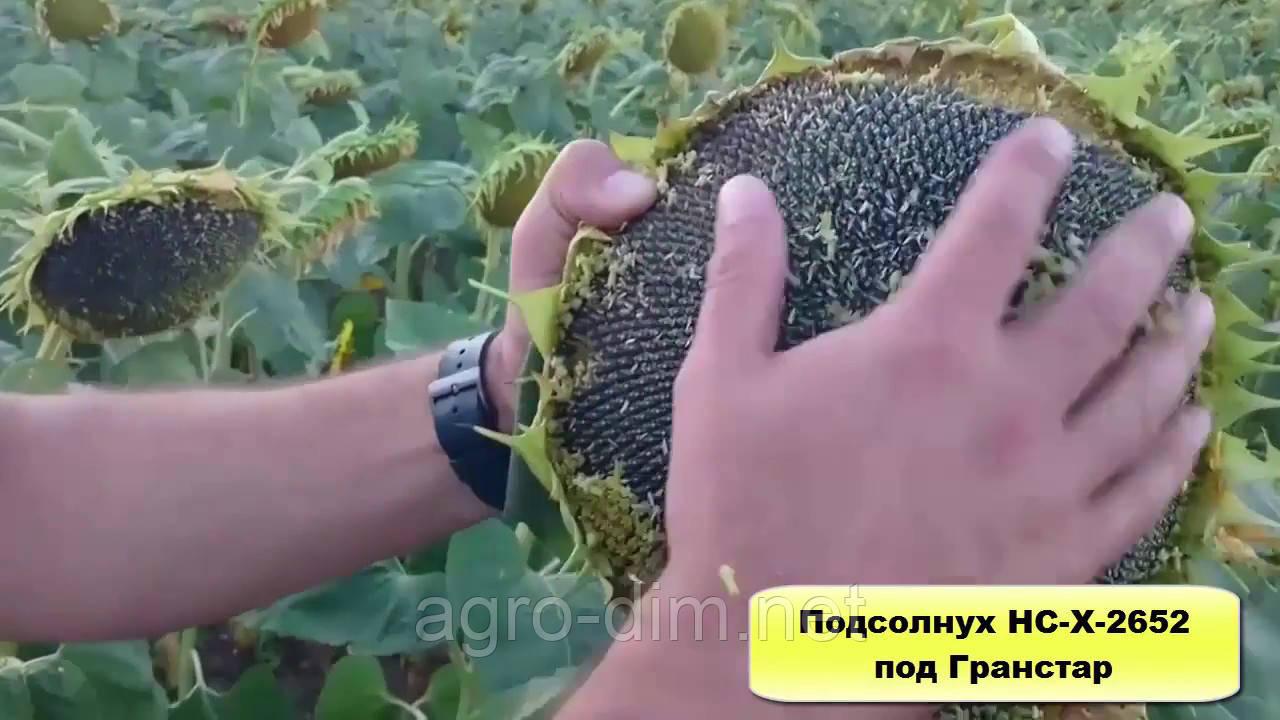 Семена подсолнечник НС Х 2652 (Экстра)