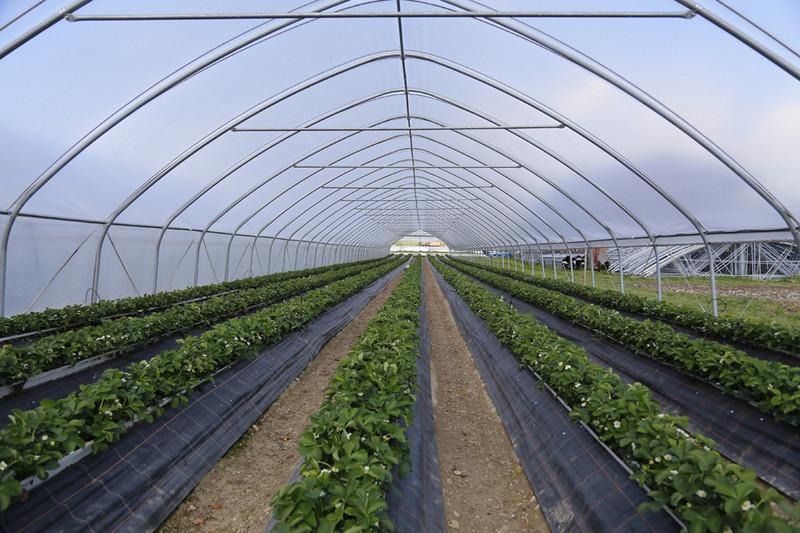 Пленочные туннели для выращивания ягод клубники, малины, голубики