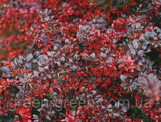 Барбарис Тунберга Red Jewel d=60-80