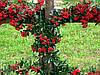 Пираканта Red Column Р9, фото 2