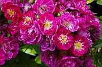 Роза плетистая. Перенниал Блю, фото 1