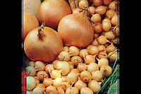 Лук севок Штутти, озимый (Голландия)