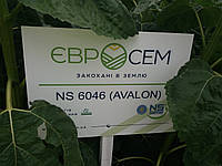 Новинка 2018 року. Насіння соняшника АВАЛОН / НС 6046 стійке до 7+ сьоми рас вовчка А, B, C, D, Е, F, G + . Високоврожайний гібрид АВАЛОН - 5,3 т/га. Нові Сад / Сербія.