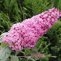 Будлея давида Пинк Делайт / Pink Delight (контейнер 2 л, высота растения 30-50см)