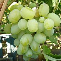 Виноград Подарок Запорожью (контейнер 4 л, высота растения 40-60см)