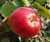 Яблоня Деличия. (54-118) Осенний сорт. (вв/кр)