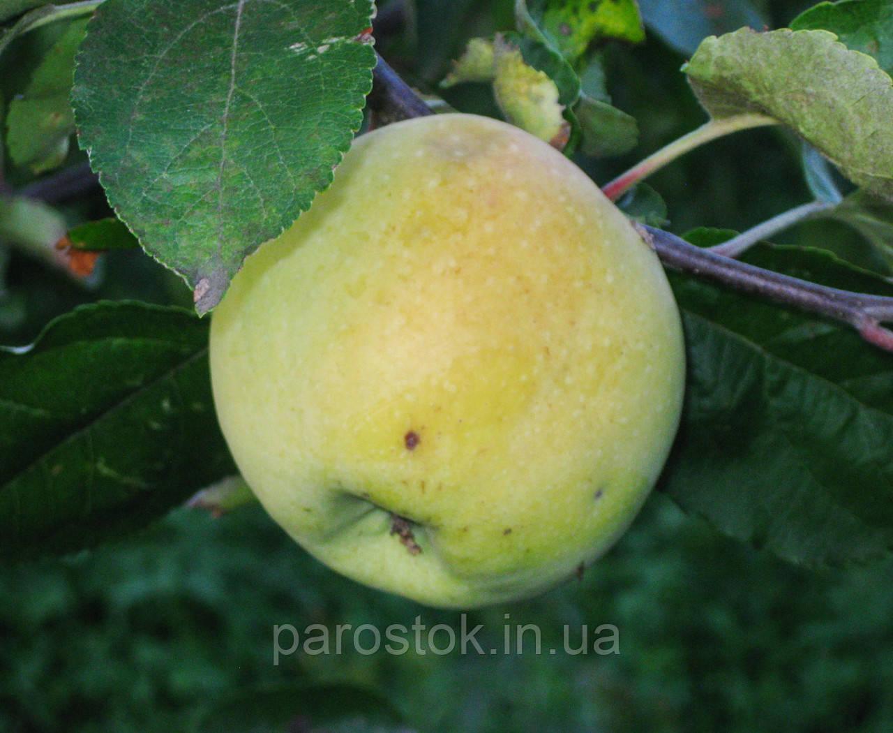 Яблоня «Путивка». (54-118). Поздне летний сорт.