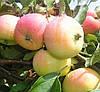 Яблоня Пепинка Золотистая. (54-118). (вс). Осенний сорт.