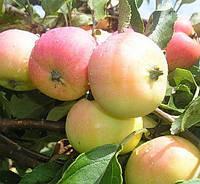 Яблоня Пепинка Золотистая. (54-118). Осенний сорт.