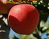 Яблоня Гала Маст. (54-118) Зимний сорт. ()