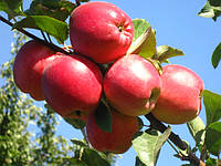 Саженцы яблони на среднерослом подвое (54-118) и (ММ.106) - каталог сортов, Весна 2017.