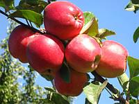 Саженцы яблони на подвое 54-118 и ММ 106 - Осень 2019