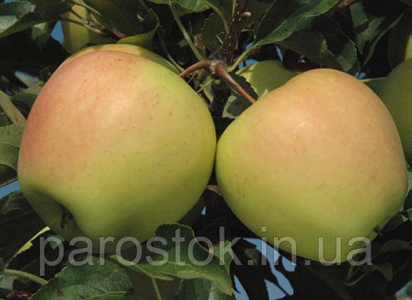 Саженцы яблони Голден Делишес Рейнджерс. (М.9). Зимний сорт