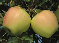 Саженцы яблони Голден Делишес Рейнджерс. (Б7-35) Зимний сорт.