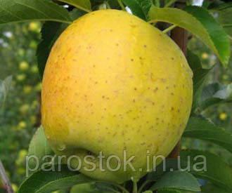 Саженцы яблони Голдраш. (ММ 106) Зимний сорт.