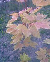 Клен явор брилиантоволистный Acer pseudoplatanus Brilliantissimum