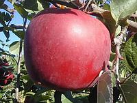 Саженцы яблони Энтерпрайз. (ММ 106). Позднезимний сорт.