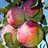 Яблоня Мантуанское. (54-118) Зимний сорт.  (в/кр)