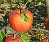 Яблоня Пинова. (54-118) Зимний сорт.