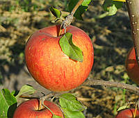 Яблоня Пинова. (54-118) Зимний сорт.  , фото 1