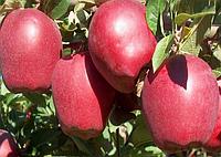 Яблоня Старкримсон. (54-118) Зимний сорт. (мс)