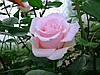 "Роза чайно-гибридная ""Титаник"""