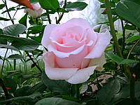 "Роза чайно-гибридная ""Титаник"", фото 1"