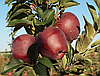 Яблоня Ред Чиф. (Б7-35). Зимний сорт.