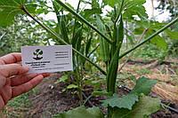 Бамия семена (10 штук) (окра, Абельмош съедобный, гомбо, дамский пальчик) Abelmoschus esculentus