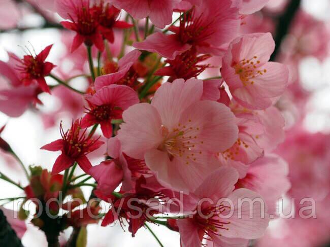 Сакура семена (10 штук) (японская вишня) Prunus serrulata насіння для саженцев, косточка, семечка