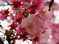 Сакура семена (10 штук) (японская вишня) Prunus serrulata насіння для саженцев, косточка, семечка, фото 1