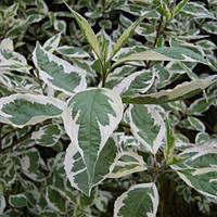 Дерен белый Сибирика Вариегата / Sibirica Variegata (контейнер 3 л, высота растения 20--25см)