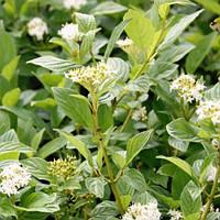Дерен отпрысковый Флавирмеа / Flaviramea (контейнер 3 л, высота растения 20-25см)