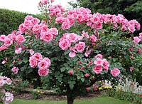 Подвой шиповник для штамбовой (плакучей) розы