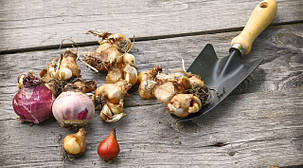 Луковицы и клубни цветов