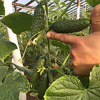 Семена огурца SV3506CV F1 (1000 сем.)