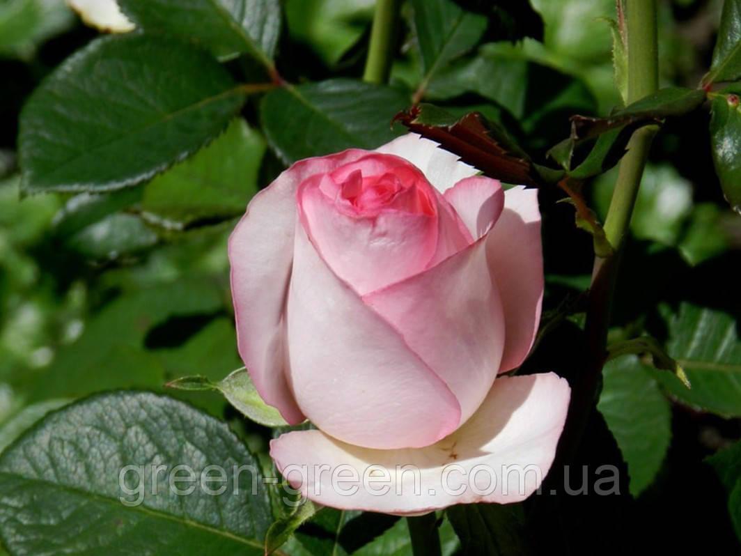 Роза чайно-гибридная Bella Vita  (Белла Вита), саженцы