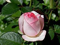 Роза Bella Vita