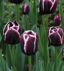 Луковицы тюльпанов Jack Pot, 3 луковицы