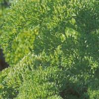 Семена петрушки кучерявой Рина (50 г)
