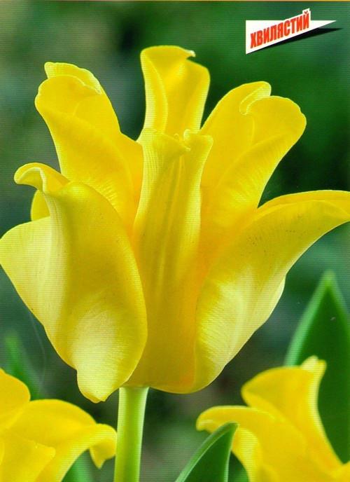 Луковицы тюльпанов Yellow Crown