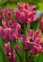 Тюльпан Волнистый Picture