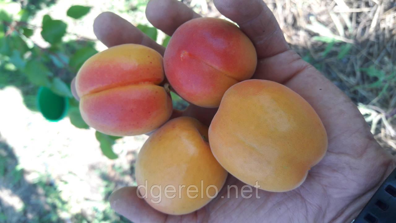 Черенки абрикоса для летней окулировки