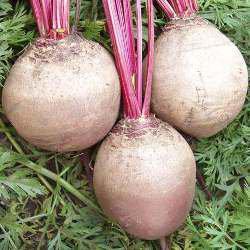 Семена свеклы Детройт ( 1 кг)