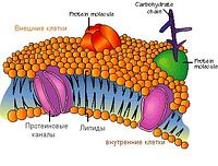 Что такое клеточная мембрана?