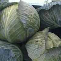 Семена капусты б/к Лагрима F1 2500 сем. (калиброванные)